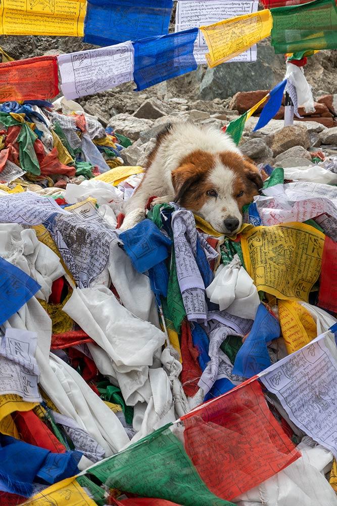Schläfriger Hund mit Gebetsfahnen am Khardungla-Pass