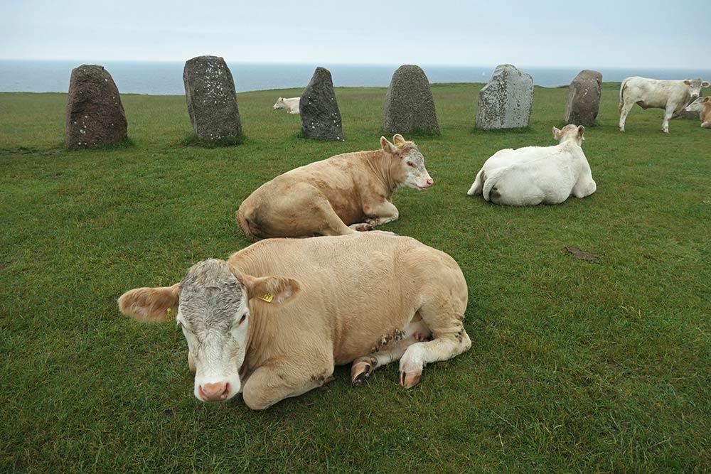 गायों के साथ एले स्टेनर पत्थर की अंगूठी